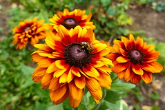 Sonnenhut (ivlys) Tags: darmstadt garten minigarden sonnenhut conflower echinacea blume flower blüte blossom insekt insect biene bee natur nature makro macro ivlys