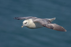 JWL6439  Fulmar.. (jefflack Wildlife&Nature) Tags: fulmar fulmars gulls gull seabirds shorebirds seashore birds avian animal animals wildlife wildbirds wildlifephotography jefflackphotography coastalbirds coastline coastal coast cliffs bempton yorkshire countryside nature