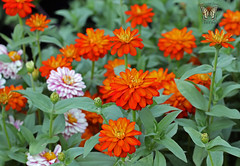 'Zahara Double Fire' Zinnia (Swallowtail Garden Seeds) Tags: zaharaseries zaharazinniaseries zahara zinnia zaharadoublefire zaharadoublefirezinnia zinnias flowers zinniaflowers macroflower macroflowers macro macrozinniaflower annual annualflowers swallowtailgardenseeds orange orangeflowers orangezinnia