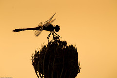 Dragon Fly from sunset (Shi-Nashi) Tags: dragon fly sunset detail macro near close wonderful nature