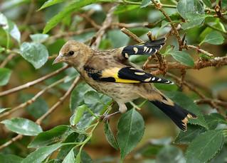 Juvenile European Goldfinch ---- Carduelis carduelis
