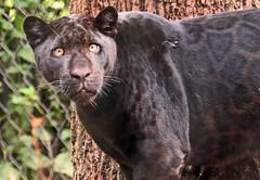 Jaguar Artis JN6A0936 (j.a.kok) Tags: jaguar zwartejaguar blackjaguar kat cat animal artis zoogdier zuidamerika southamerica mammal predator pantheraonca neron leya leia