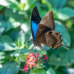 Blue Tease (gecko47) Tags: insect lepidoptera butterfly swallowtail blue ulyssesbutterfly papilioulysses rainforest tropics queensland perched wingunderside bribieislandbutterflyhouse bongaree feeding