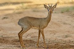 You Have My Attention (Ania Tuzel Photography) Tags: canonef200400mmf4l dikdik antelope dwarfantelope africa kenya tiny animal canon5dmark4 maleanimal