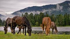 Утро туманное(Morning misty) (vladsid1969) Tags: утро туман природа пейзаж кони лошадь река трава горы morning fog nature landscape horses horse river grass mountains sony ilce7m2 fe 90mm f28 macro