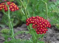 Schafgarbe rot (dorisgoebel) Tags: blume flower blüten blossom rot red schafgarberot yarrowred natur pflanze