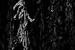 Transitory - Vergänglichkeit (b_kohnert) Tags: nature plant macro transitory vergänglichkeit pflanzen bw blackandwhite monochrome schwarzweis