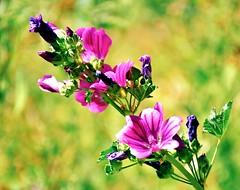 Reach for the Sky (barbara_donders) Tags: natuur nature summer zomer flowers bloemen pink roze bokeh macro beautiful magical mooi prachtig
