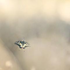 Decollage imminent (donlope1) Tags: macro nature light papillon butterfly summer sunrise sun bokeh proxy wildlife