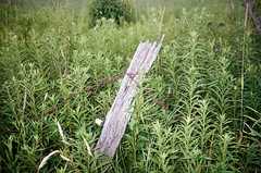 Old Post (pauljohnson34) Tags: 8365 365project kodak portra400 stylusepiczoom80 olympus barbedwire fence post