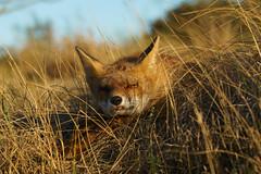 DSC01198BK (Geert Rooyackers) Tags: fox redfox vulpesvulpes a7rii sonya7rii vos