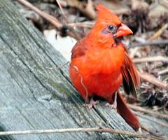 DSC_0522 (RachidH) Tags: birds oiseaux snow cardinal redbird northerncardinal cardinaliscardinalis cardinalrouge sparta nj rachidh nature