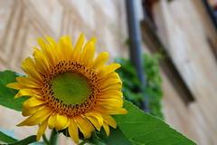 Sunflower (ZdenHer) Tags: castle sunflower yellow flower canonpowershotg7xmarkii macro