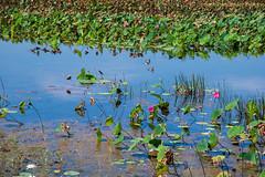 Kakadu National Park - Mamukala wetlands (simone_a13) Tags: australia kakadunationalpark northernterritory wetlands lagoon water waterlily unescoworldheritagesite green tropical