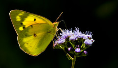Backlit Orange Sulphur (Bernie Kasper (4 million views)) Tags: art berniekasper butterfly bug bugs butterflies color d600 family flower floral flowers hiking indiana indianawildflowers insect insects indianabutterflies light leaf leaves love madisonindiana macro nature nikon naturephotography new night outdoors outdoor old outside photography plant raw summer sigma travel trail wildflower wildflowers unitedstates usa orangesulphur backlight