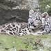 Snow Leopard Kittens Cuddling