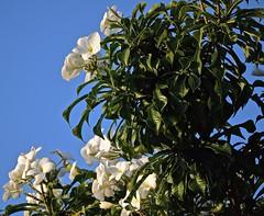 Plumeria pudica (ACEZandEIGHTZ) Tags: flowers nikon d3200 white leaves frangipani bridalbouquet panama columbia venezuela plumeria pudica coth