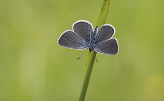 Small Blue (Cupido minimus).