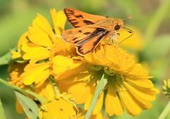 fiery skipper male on sneezeweed at Canoe Creek WMA IA 653A3502 (lreis_naturalist) Tags: fiery skipper male butterfly feeding sneezeweed canoe creek wma winneshiek county iowa larry reis