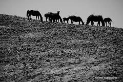 Sicily _ Horses in a wild land (piero.mammino) Tags: sicilia sicily cavalli horses wild selvaggio land landscape paesaggio bianconero monocromo piero mammino