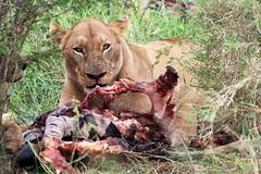 SOUTH AFRICA 2018 (Ian Macfadyen) Tags: southafrica wildlife photography bush wildanimals biggame bushveld kruger reserve nationalpark travel journey africancontinent canon longlenses telephoto adventure adrenalinrush gamedrive bushwalk armedrangers lion lioness lionkill zebrakill
