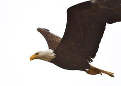 DSC_3266_edit (Hanzy2012) Tags: tofino wildlife bird baldeagle pacificrimnationalpark combersbeach haliaeetusleucocephalus bc britishcolumbia vancouverisland canada nature wild