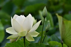 Summer Lotus (scv1_2001) Tags: nikon nikon70200mmvrii nikond750 lotus echopark flower pink