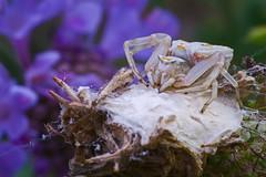 Araña cangrejo cuidando su nido (teredura58) Tags: araña cangrejo insectos macro alavavision