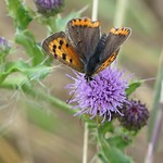 Small Copper P1930342 thumbnail
