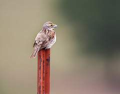 Sitting on the Fence (dshoning) Tags: bird fence post red dicksissel summer iowa