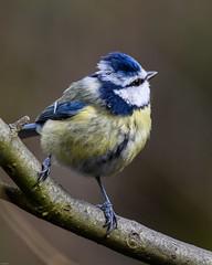 Blue Tit RSPB Silverdale F00315 D210bob  DSC_0413 (D210bob) Tags: bluetit rspbsilverdale f00315 d210bob dsc0413 nikond7200 birdphotography birdphotos leightonmoss naturephotography naturephotos nikon nikon200500f56 wildlifephotography lancashire rspb