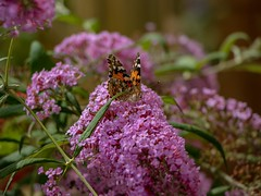 The Butterfly Effect (7DWF - Sunday's - Fauna) (Mad Cow Imagery) Tags: bokeh garden canonefs18135mmf3556isstm canoneos80d pollinating pollinators pollination blooming pinkdelight butterflybush buddleja buddleia plant flower insect paintedlady butterfly summer bst britishsummertime closeup macro fauna sundays 7dwf essex elsenham england gb greatbritain uk unitedkingdom