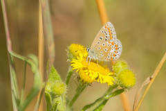 (_jypictures) Tags: animalphotography animals animal animalplanet canon canon7d canonphotography flowerphotography wildlife wildlifephotography wiltshire naturephotography nature butterfly butterflies commonblue ukwildlife insect insectphotography bug