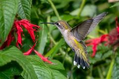 RubyFanTail (jmishefske) Tags: 2018 d850 nikon tail halescorners flower fanned whitnall milwaukee green monarda red botanical flying fly boerner bird flight ruby rubythroated gardens august out park hummingbird fan bif wisconsin