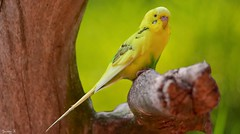 Bird - 5704 (ΨᗩSᗰIᘉᗴ HᗴᘉS +22 000 000 thx) Tags: bird yellow parrot perroquet green hensyasmine namur belgium europa aaa namuroise look photo friends be wow yasminehens interest intersting eu fr greatphotographers lanamuroise tellmeastory flickering nikond5500 tamron tamron150600 pairidaiza