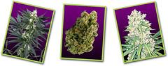 Super-Silver-Haze-1 (Watcher1999) Tags: silver haze super sativa cannabis indoor growing seeds medical marijuana california bob marley weed smoking buds kush ganja reggae legalize it