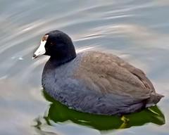 DSCN8117 (danimaniacs) Tags: disneyland animal duck water