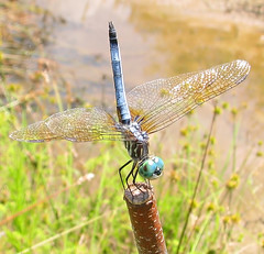 Blue dasher of mid-summer (Vicki's Nature) Tags: bluedasher male obelisking blue greeneyes wings water slough dragonfly biello georgia vickisnature canon s5 supermacro 6635