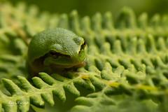 Tree frog No. 7 (Leo Kramp) Tags: 2018 canon1egprofessionalgadgetbag amsterdamsewaterleidingduinen manfrottobalheadmhxprobhq2 accessoires wandelen websitedieren benroadventuremonopodmad49a flickr leo kramp leokramp wwwleokrampfotografienl leokrampfotografie