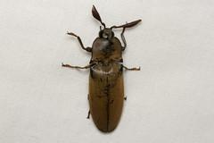 Elateridae sp. (Click Beetle) - Isunga, Uganda (Nick Dean1) Tags: animalia arthropoda arthropod hexapoda hexapod insect insecta coleoptera beetle isunga kibalenationalpark kibale uganda elateridae