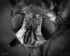 The Fly (bcaldwellphoto.com) Tags: fly housefly insect macromicro macrophotography micro nature macro