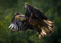 Second Chance (Sharon's Nature) Tags: baldeagle haliaeetusleucocephalus bif flight flying raptor wildliferehabilitation wildliferescue