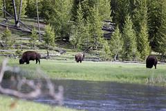 Bison@Yellowstone (Walcher Franz) Tags: yellowstone usa us wyoming park nationalpark wildlife bison
