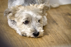 just watching ... (TorstenHein) Tags: flickrsbest hund kenay 2018 fujifilmxt2 dog animal bolonka zwetna