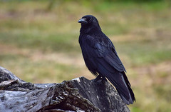 Crow (kraai) (moniquedoon) Tags: bird birds crow kraai black nature wildlife nikon feathers birdwatching naturewatching summerwatch vogelbescherming vroegevogels