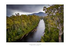 I Thought I'd Climb A Tree... (Dominic Scott Photography) Tags: dominicscott australia tasmania tahune airwalk forest river sony ilce7rm2 gmaster sel1635gm