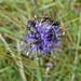 Popular Devilsbit Scabious
