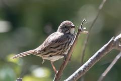 DSC_0722.jpg Song Sparrow, Schwan Lake (ldjaffe) Tags: schwanlake