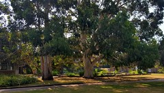 """Snow"" "" Mountain"" and ""Black"" Gum Trees (standhisround) Tags: trees tree nature eucalyptus gumtrees snowgum mountaingum blackgum htmt treemendoustuesday kewgardens kew london uk australia royalbotanicalgardens rbg leaves shadows shade sun gardens park"