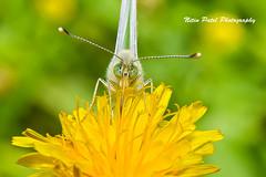 IMG_6244 (nitinpatel2) Tags: butterfly nature macro nitinpatel